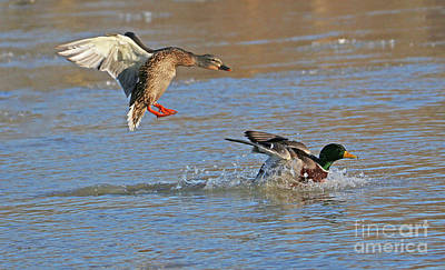 Photograph - Mallards Landing  5866 by Jack Schultz