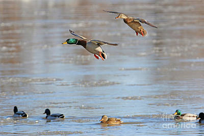 Photograph - Mallards Landing  5884 by Jack Schultz