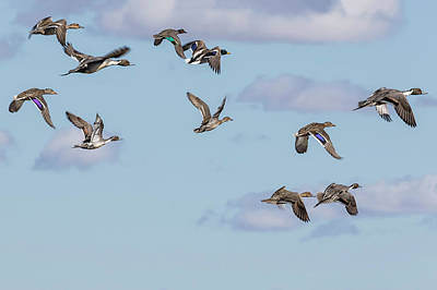 Photograph - Mallards, Northern Pintails And A Green-winged Teal In Flight by Belinda Greb