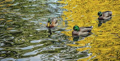 Photograph - Mallards On Golden Pond 3 by Roxy Hurtubise