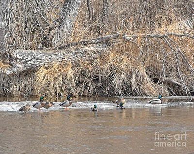Photograph - Mallards On The River by Kathy M Krause