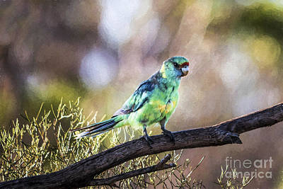 Photograph - Mallee Ringneck Parrot Special Limited Offer by Ray Warren