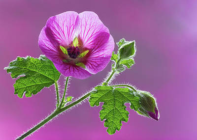 Photograph - Mallow Flower 2 by Shirley Mitchell