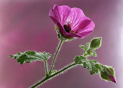 Photograph - Mallow Flower 3 by Shirley Mitchell