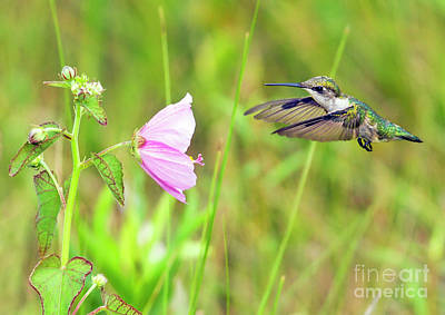 Photograph - Mallow Hummer by Gary Holmes