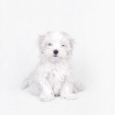 Maltese Photograph - Maltese Dog Puppy by Waldek Dabrowski