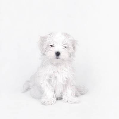 Maltese Puppy Photograph - Maltese Dog Puppy by Waldek Dabrowski