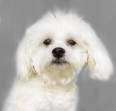 Dogs Photograph - Maltese Puppy by Zina Stromberg