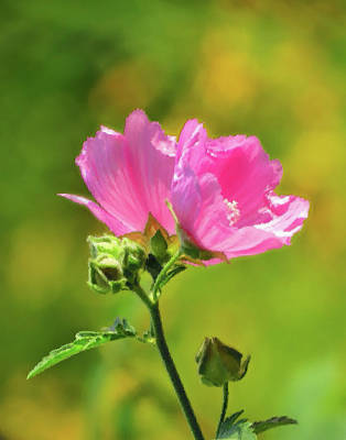 Photograph - Malva Pink Pair - Brush Strokes by MTBobbins Photography