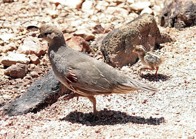 Photograph - Mama And Baby Quail In The Desert by Carol Groenen