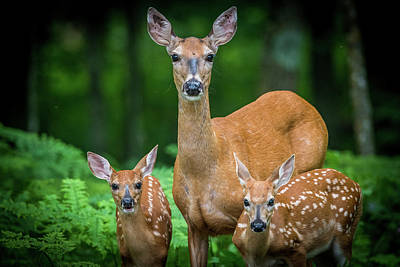 Trophy Buck Photograph - Mama And Fawns by Paul Freidlund