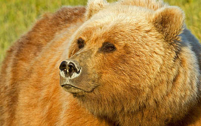 Photograph - Mama Bear Close Up by Shari Sommerfeld