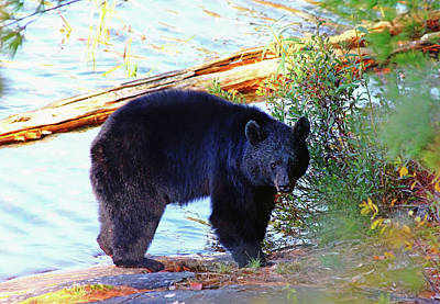 Photograph - Mama Bear by Debbie Oppermann