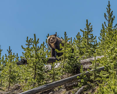 Photograph - Mama Beryl In Yellowstone by Yeates Photography