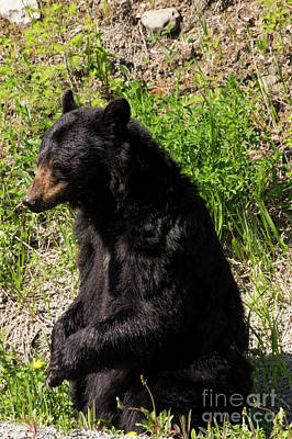 Photograph - Mama Black Bear by Louise Magno