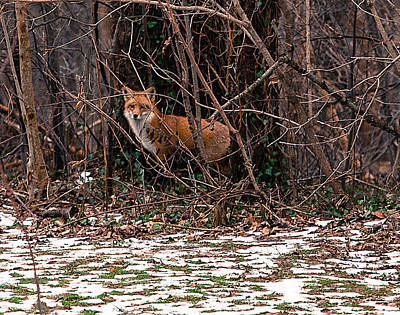 Photograph - Mama Fox Jan 2015 by Chris Babcock