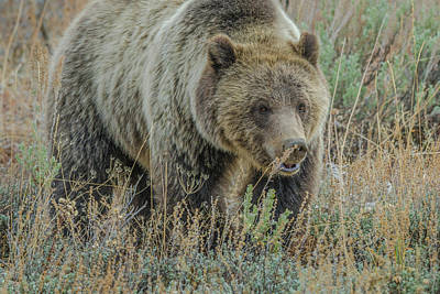 Photograph - Mama Grizzly Blondie by Yeates Photography