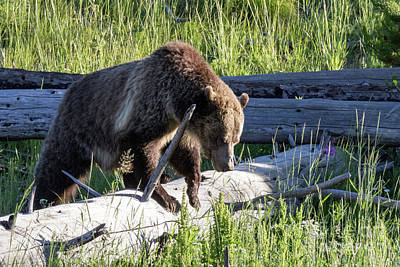 Photograph - Mama Grizzly by Darleen Stry