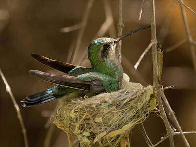 Photograph - Mama Hummingbird by Sue Cullumber