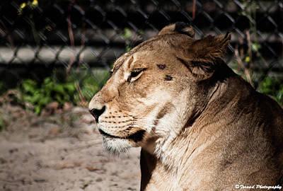 Photograph - Mama Lion  by Debra Forand