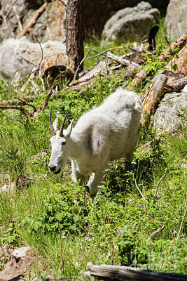 Photograph - Mama Mountain Goat by Steve Triplett