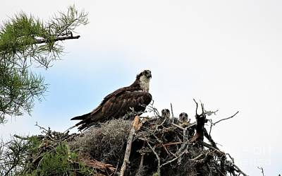 Photograph - Mama Osprey With Babies by Paulette Thomas