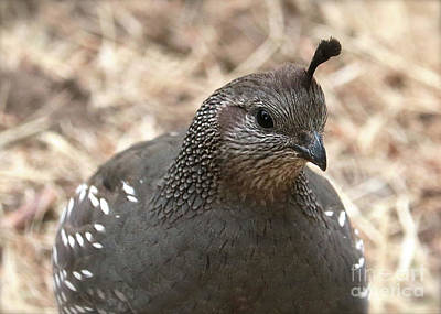 Photograph - Mama Quail Closeup by Carol Groenen