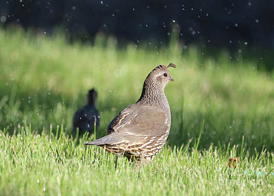 Photograph - Mama Quail Through The Sprinklers by Carol Groenen