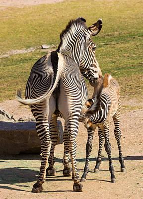 Mama Zebra And Nursing Foal Art Print by Melanie Harman