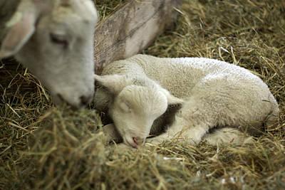 Mama's Lil Lamb Art Print by Linda Mishler
