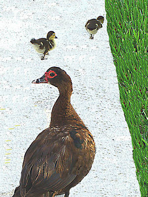 Photograph - Mamma Duck And Babies Strolling On The Sidewalk by Merton Allen