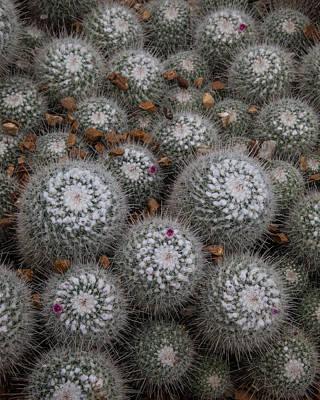 Photograph - Mammillaria Cactus  by Lon Dittrick