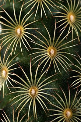 Art Print featuring the photograph mammillaria elongata Cactus  by Catherine Lau