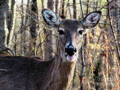 Photograph - Mammoth Cave Kentucky Deer Sticks His Tongue Out by Ron Tackett