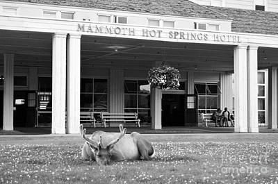 Photograph - Mammoth Hot Springs Hotel Entrance Sleeping Elk In Yellowstone National Park Wyoming Black And White by Shawn O'Brien