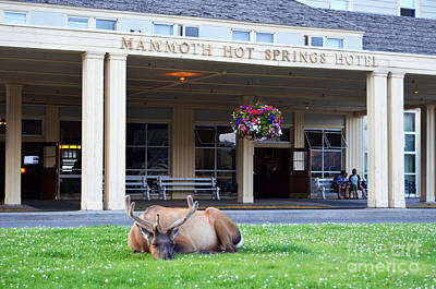 Photograph - Mammoth Hot Springs Hotel Entrance Sleeping Elk In Yellowstone National Park Wyoming by Shawn O'Brien