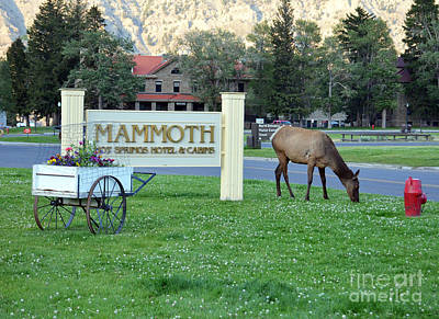 Photograph - Mammoth Hot Springs Hotel Sign Elk In Yellowstone National Park Wyoming by Shawn O'Brien