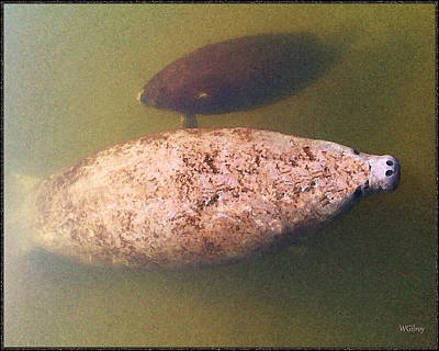 Sebastian Florida Photograph - Manatee And  Baby by W Gilroy
