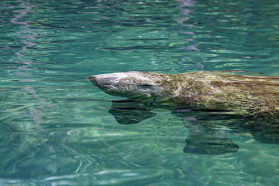 Photograph - Manatee Baby by Sally Weigand