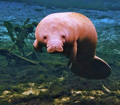 Photograph - Manatee Curiosity by Sheri McLeroy