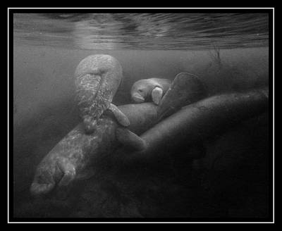 Photograph - Manatee Group Hug 2 by Sheri McLeroy