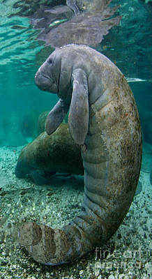 Photograph - Manatee In Crystal River Florida by Merton Allen