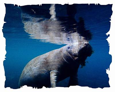 Photograph - Manatee Mirror Image by Sheri McLeroy