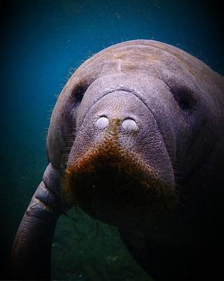 Photograph - Manatee Mustache by Sheri McLeroy