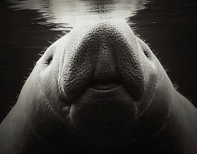 Photograph - Manatee Smile Bw by Sheri McLeroy