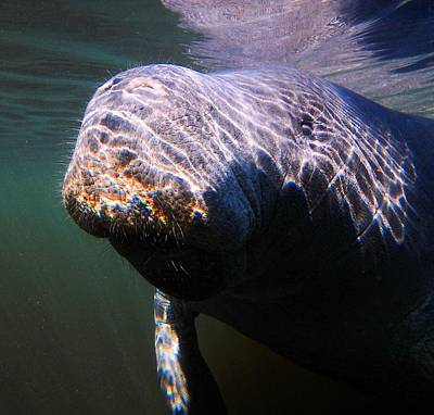 Photograph - Manatee Smile by Sheri McLeroy