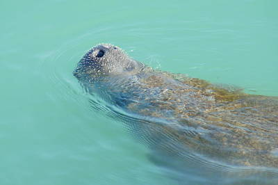 Art Print featuring the photograph Manatee Surfaces For Air by Lynda Dawson-Youngclaus