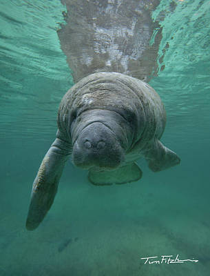 Manatee Art Print by Tim Fitzharris