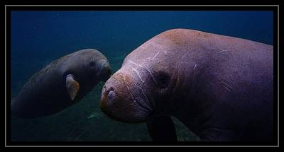 Digital Art - Manatee Times Two by Sheri McLeroy