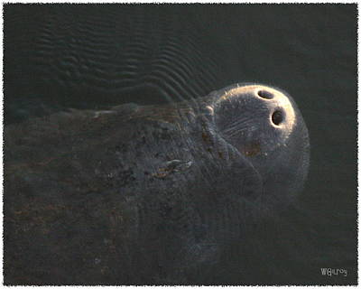 Melbourne Beach Photograph - Manatee by W Gilroy
